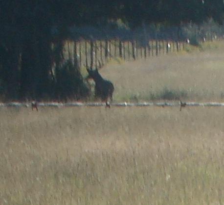 big deer 001
